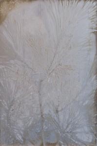 Eastern-White-Pine-1